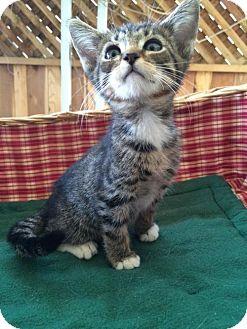 Domestic Shorthair Kitten for adoption in san diego, California - Johnny