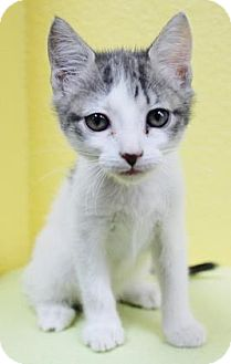 Domestic Shorthair Kitten for adoption in Benbrook, Texas - Chloe