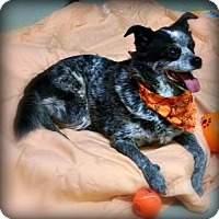 Australian Cattle Dog Mix Dog for adoption in Pensacola, Florida - Zig