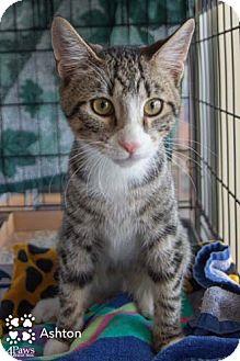 Domestic Shorthair Kitten for adoption in Merrifield, Virginia - Ashton