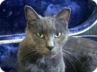 Domestic Shorthair Cat for adoption in Manchester, Connecticut - Nefertiti