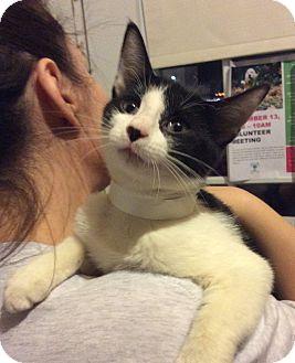 Domestic Shorthair Kitten for adoption in Breinigsville, Pennsylvania - 'Bo'weevil