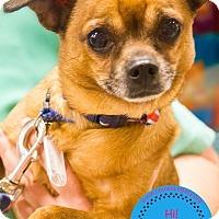 Adopt A Pet :: Scrappy - Staten Island, NY