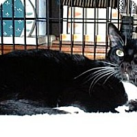 Domestic Mediumhair Cat for adoption in Miami, Florida - Chris