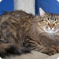 Adopt A Pet :: Sugar Plum - Colorado Springs, CO