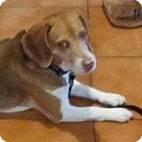 Adopt A Pet :: Hershey - Canoga Park, CA