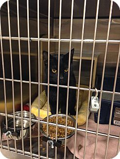 Domestic Shorthair Cat for adoption in Muncie, Indiana - Licorice