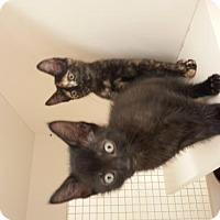 Domestic Shorthair Kitten for adoption in Land O Lakes, Florida - Brutus & Virgil