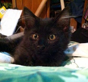 Domestic Mediumhair Kitten for adoption in Tustin, California - Gypsy Rose