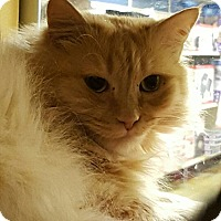 Ragdoll Cat for adoption in Arcadia, California - Gidget