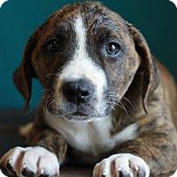 Adopt A Pet :: Adam II - Waldorf, MD