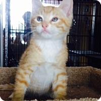 Adopt A Pet :: Priscilla Pumpkin - Encinitas, CA