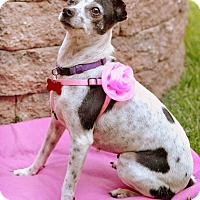 Toy Fox Terrier/Jack Russell Terrier Mix Dog for adoption in Oakley, California - Sadi-ee