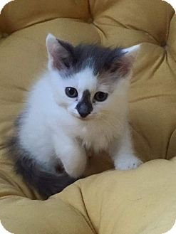 Domestic Mediumhair Kitten for adoption in Frankfort, Illinois - Pebbles (& Wilma)
