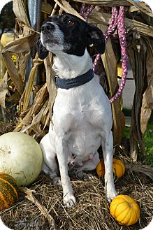 Jack Russell Terrier Mix Dog for adoption in East Smithfield, Pennsylvania - Hen