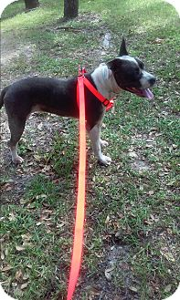 Bull Terrier Dog for adoption in Spring Hill, Florida - MOLLY