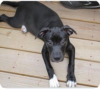 Pit Bull Terrier Mix Puppy for adoption in Durham, North Carolina - Aurora