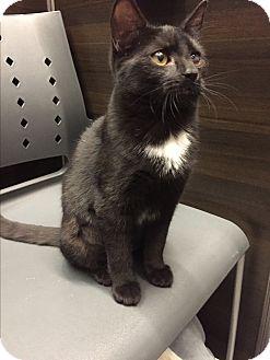 Domestic Shorthair Kitten for adoption in Breinigsville, Pennsylvania - Sonya
