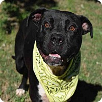 Adopt A Pet :: BIG BLACK - Atlanta, GA
