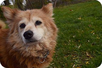 Sheltie, Shetland Sheepdog/Pomeranian Mix Dog for adoption in Flushing, Michigan - Stella
