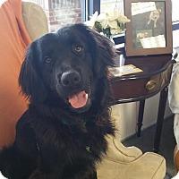 Adopt A Pet :: Blackjack - Burlington, NC