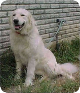 Great Pyrenees Mix Dog for adoption in Kyle, Texas - Sabayonne