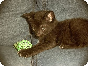 Domestic Mediumhair Kitten for adoption in Orlando, Florida - Brownie