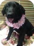 Flat-Coated Retriever Mix Puppy for adoption in Manchester, Connecticut - latoya ADOPTION PENDING