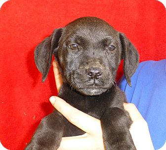 Labrador Retriever Mix Puppy for adoption in Oviedo, Florida - Mylee