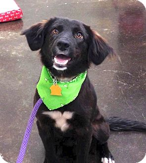 Spaniel (Unknown Type)/Border Collie Mix Dog for adoption in Westport, Connecticut - *Charlie - PENDING