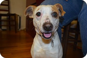 Jack Russell Terrier/Rat Terrier Mix Dog for adoption in Knoxville, Tennessee - Harry