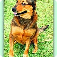 Rottweiler Mix Dog for adoption in Eddy, Texas - Spice