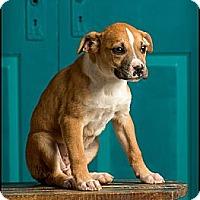 Adopt A Pet :: Louise - Owensboro, KY