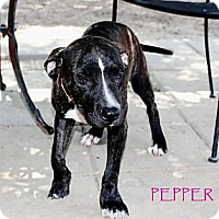 Adopt A Pet :: Pepper - Silsbee, TX