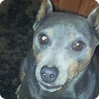 Adopt A Pet :: King lou Capone - Sacramento, CA
