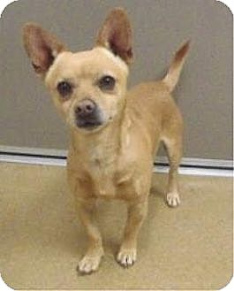 Las vegas nv chihuahua mix meet puppy a dog for adoption for Dog rescue las vegas nv