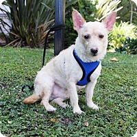 Terrier (Unknown Type, Medium) Dog for adoption in Los Angeles, California - Stevie