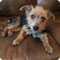Adopt A Pet :: Cindy Lou - San Antonio, TX