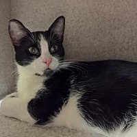 Domestic Shorthair Cat for adoption in Morgan Hill, California - Anduril