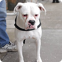 Boxer Mix Dog for adoption in Detroit, Michigan - Casper - Foster Needed