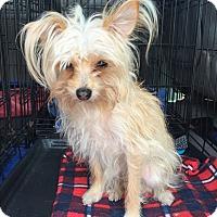 Adopt A Pet :: Tiny Elvis - Oak Ridge, NJ