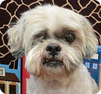 Shih Tzu/Lhasa Apso Mix Dog for adoption in Houston, Texas - Briar Ranger