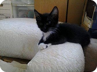 Domestic Shorthair Kitten for adoption in Lancaster, California - Jean