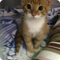 Adopt A Pet :: Puss N Boots - Richboro, PA