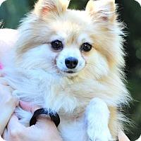 Adopt A Pet :: Becky - Vernonia, OR