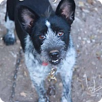 Adopt A Pet :: BETTY BOOP - Fort Worth, TX