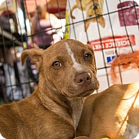 Dachshund/Terrier (Unknown Type, Small) Mix Puppy for adoption in Lodi, California - Belle