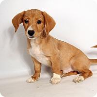 Adopt A Pet :: Alexander Beagle Mix - St. Louis, MO