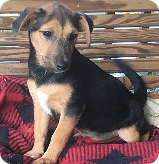 Terrier (Unknown Type, Small) Mix Puppy for adoption in Allentown, Pennsylvania - Rose
