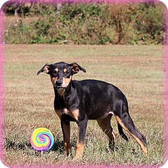 Doberman Pinscher/Shepherd (Unknown Type) Mix Puppy for adoption in Glastonbury, Connecticut - Tizzi~ meet me!
